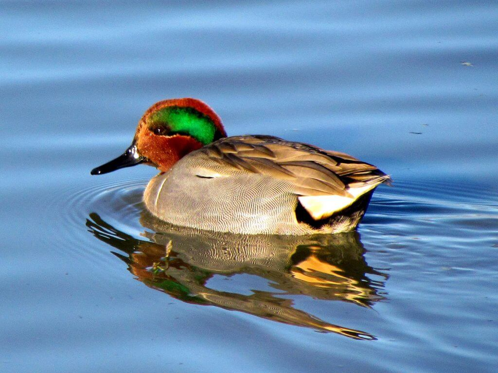 the common teal